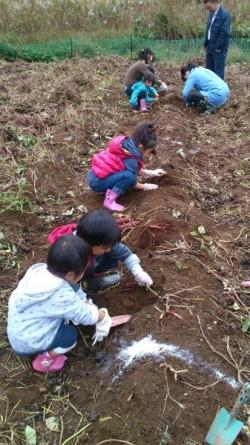 サツマイモ畑で収穫