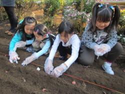 チューリップの球根植え体験