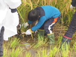 雨の中稲を刈る子供