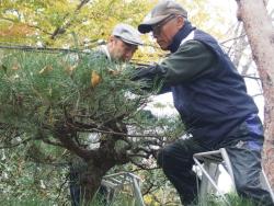 松の枝を切る参加者